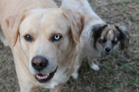 Buddy (left) and Riley (right) looking at the camera in Karolina Benitez's backyard.