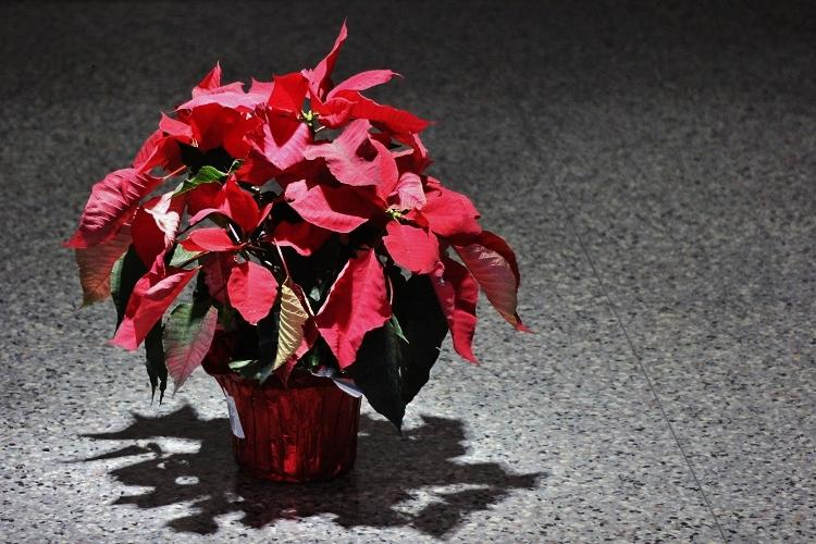 Flower poinsettia on the Westside High School floor, on a Wednesday morning, for a fall final.