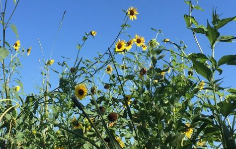 Where Will The Sunflowers Go?
