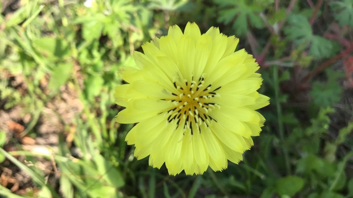 Wild dandelion in Westside's Prairie