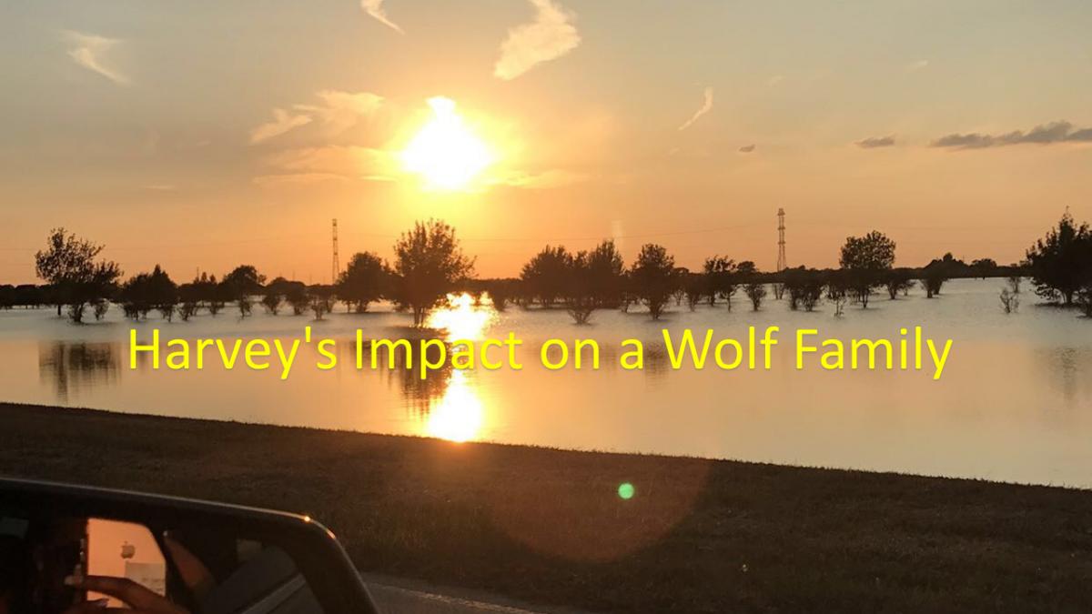 Impact on a Wolf Family ---- Harvey